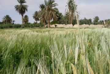 Úroda pšenice by v roce 2017 mohla přesáhnout hranici dvou milionů tun