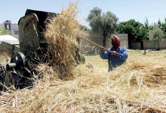 Hasaka: optimistický odhad úrody ječmene pro aktuální sezónu