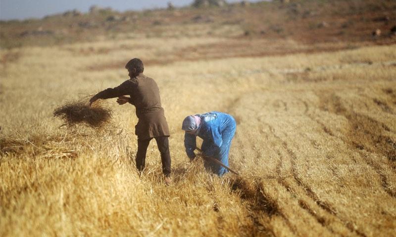 Hasaka: pomoc pěti stům rodin v rámci projektu podpory drobných zemědělců