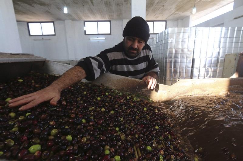 Úspěšný rok pro syrské pěstitele i exportéry olivového oleje