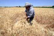 Hasaka: zemědělci ukončili sklizeň ječmene