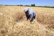 Sýrie: letošní dodávky obilí v ohrožení?