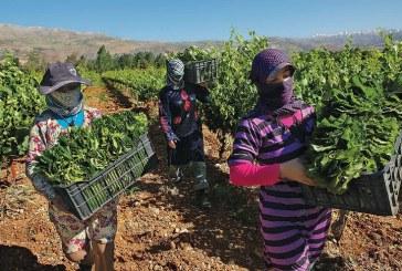 Státní asistence syrským zemědělcům přináší výsledky