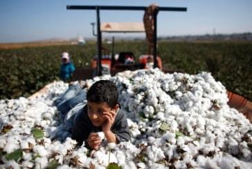 Syřané letos očekávají mimořádnou úrodu bavlny